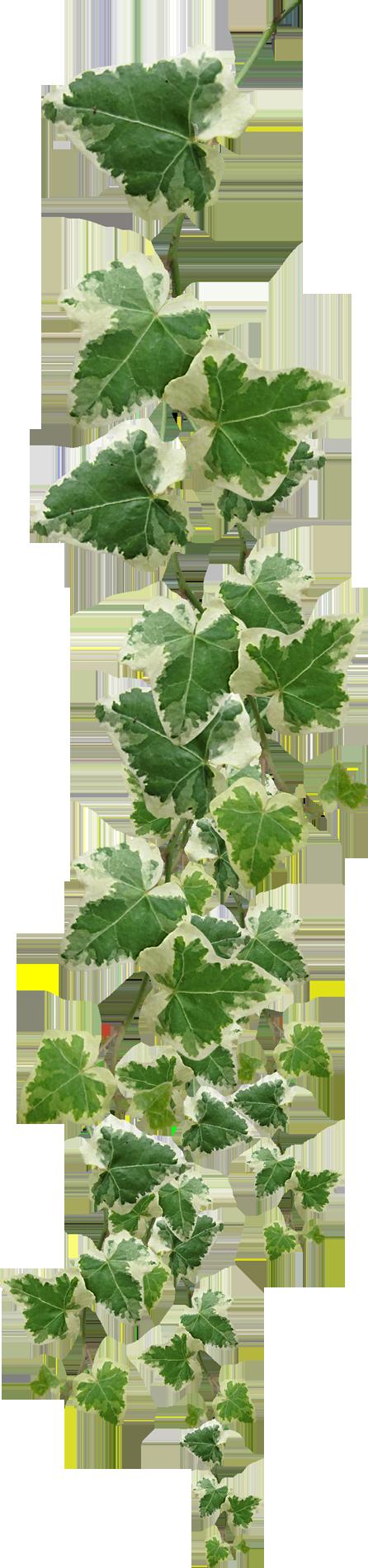 листья крапивы для потенции